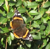 Red Admiral butterfly in Tizer's Somerset garden on 28th November 2016