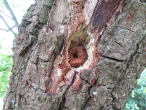 Hole in tree made by woodpecker to hold an object for `drilling'