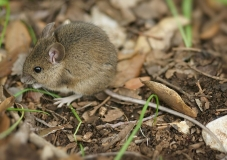 Wood mouse (field mouse)