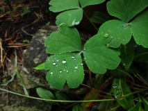 Raindrops on Alchemilla